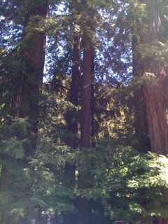 Redwoods at the Resort